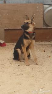 كلب جيرمن شبرد العمر اقل من سنة
