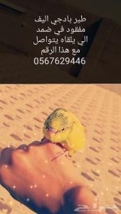 مفقود طير بادجي في ضمد