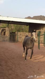 حصان للبيع  عمره 3 سنوات