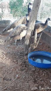 اجواز واطقم طاووس بني فاخر