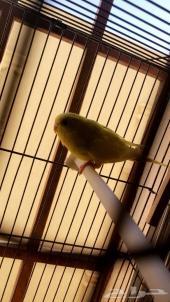 طيور البادجي رائعه