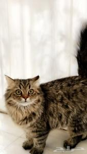 قط نرويجي ذكر للبيع تربية خاصه 11