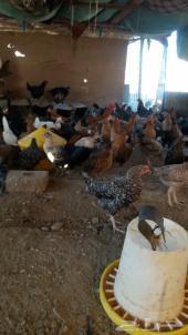 دجاج بلدي بشاير عدد100