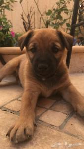 كلب صغير السن و لعوب للبيع بسعر رخيص