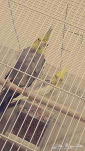 جوز طيور كروان
