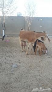 عنز مصرية تحتها اثنين منوة القناي للبيع