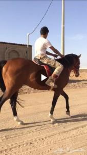 حصان شعبي انتاج سرعه