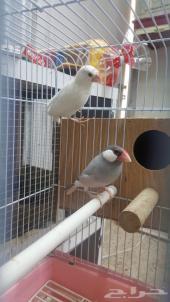 زوج عصافير جاوا-تم البيع