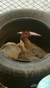 البيع دجاج.   محضن  على 10بيض فارسيه