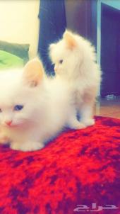 قطط للبيع ابيض شيرازي