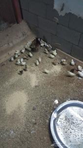 للبيع دجاج بلدي بياض