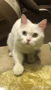 قطوه شيرازي