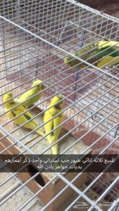 للبيع طيور حب استرالي  ثلاثه اناثي واحد ذكر