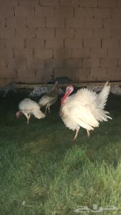 ديك ودجاج رومي