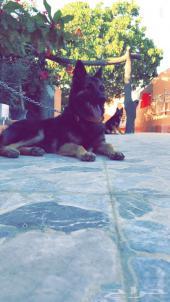 للبيع كلبه جيرمن مستورده من مصر