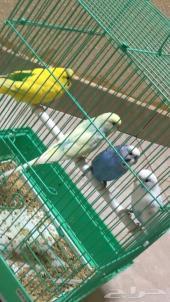 طيور حب بادجي