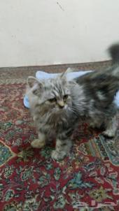 قطة شيرازي هاف بيكي للبيع