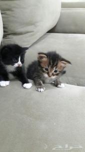 قطتين للبيع