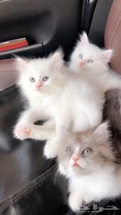قطط شيرازية مميزه موني فيس عمر 60 يوم