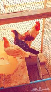 للبيع ديك ودجاج للبيع