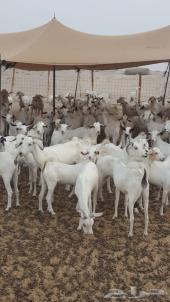 معزاء بيشية صنف للبيع