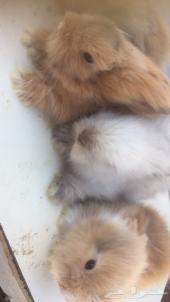 للبيع ارانب انقورا
