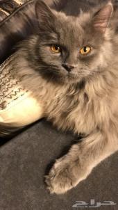 قطة شيرازيه رماديه