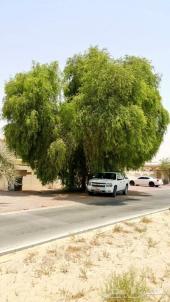 تم توفير بذور أشجار الغاف الخليجي بكميات طيبة