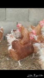 مطلوب بيض دجاج تركي أحمر