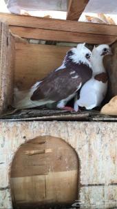 طيور قلاليب جمله
