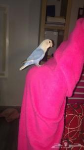 طائر الروز هدد اليف  روز