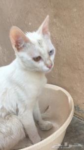 قطه ماسة العين التيلانديه