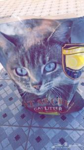 قط شيرازي أليف وذكي للبيع