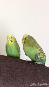 طيور الحب ( جوز )