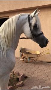 حصان واهو مكس فاخر
