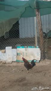 دجاج الباحة للبيع