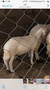 خروف للبيع يعيد خ مشيط