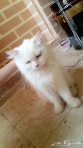 قطة شيرازي ابيض