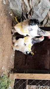 دجاج برهما تب التوب