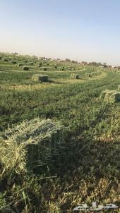 نستقبل  عروض البرسيم من المزارعين