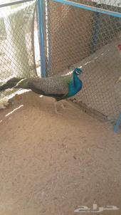 ذكر طاووس ازرق للبيع