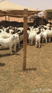 عدد 35 هرفي نعيم وحري للبيع في رماح