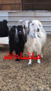 معزا و جفار طيبه (عارضيات سوريات مصريات )