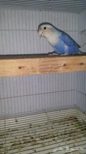 جوز روز منتج. ...أقبل البدل بطيور بادجي