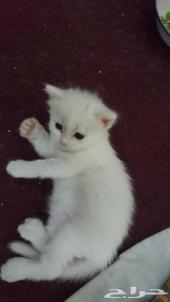 قطه شرازي صغير  للبيع