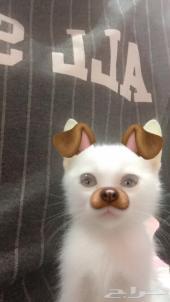 قطه صغيره للبيع عمرها تقريبا 4 او 5 شهور انثى