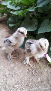 صيصان دجاج براهما للبيع
