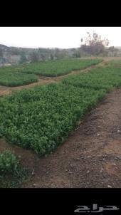 مزرعة البيع بمحافظة العقيق