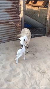 حرية رغوث تحتها خروف