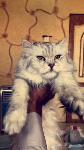 قطة شيرازية جامبو